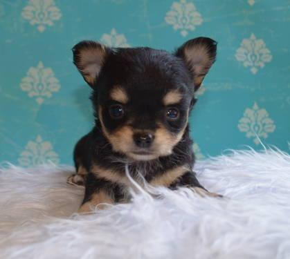 Akc Teacup Applehead Longhair Chihuahua Puppies For Sale In Big Cove