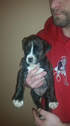 six week old pitbull mixes looking for a forever home