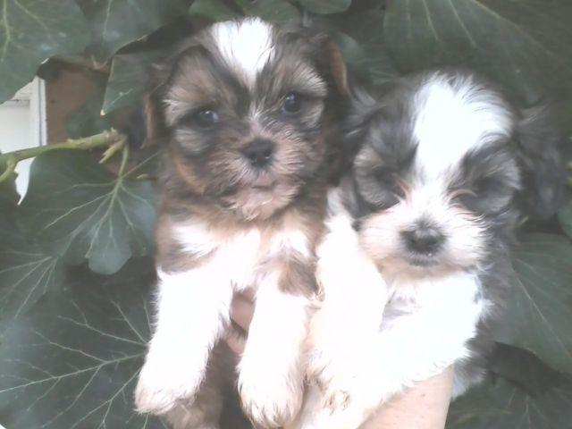 SHIH TZU's 2 MALE PUPPYS LOOKING FOR FUREVER LOVERS