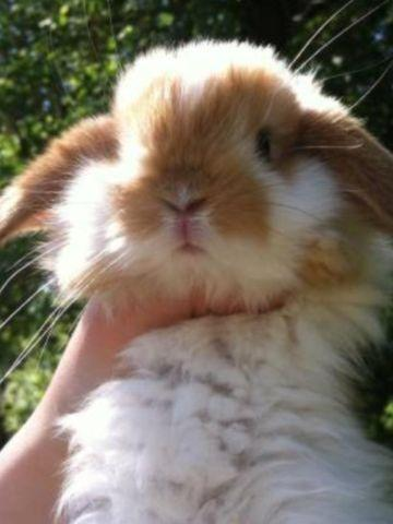 Baby Holland Lop Bunnies for Sale in Zumbrota, Minnesota