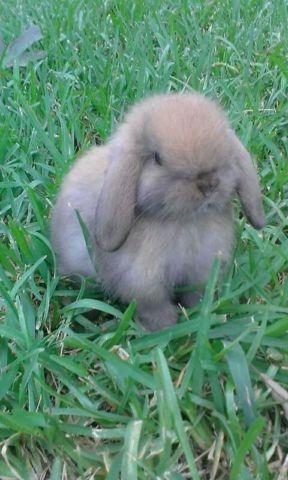 dwarf baby holland lop bunnies for Sale in Patton, Texas