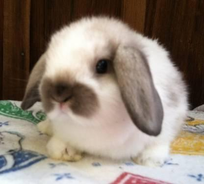 Gorgeous Holland Lop Bunny