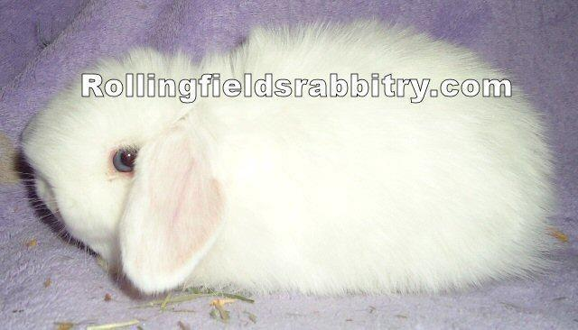 Bunnies for sale! Mini Lop,Holland Lop,Fuzzy Lop,Netherland Dwarf