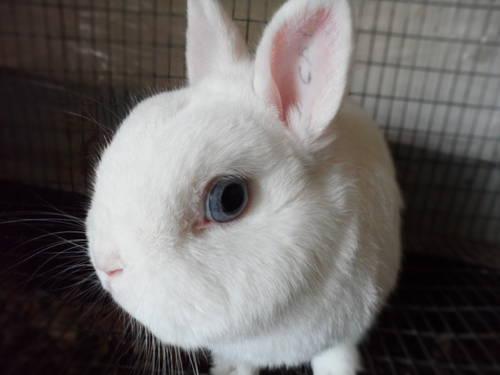 Dwarf Rabbits- Netherland Dwarf, Holland Lop, Hotot and Lionhead