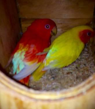 Pin african lovebirds lutino opaline for sale philippines 2876907 on