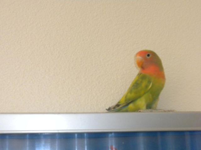 MALE LOVEBIRDS