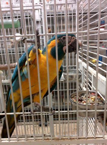 Blue Throat Macaw babies