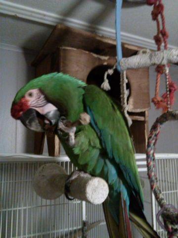 big catalina macaw pet