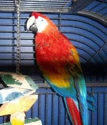 Pair of Macaws -Trades?