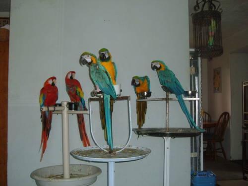 three pairs of macaws paired up