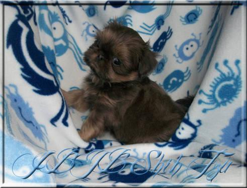 AKC Blue Chinese Imperial Shih Tzu Male - 8 wks old