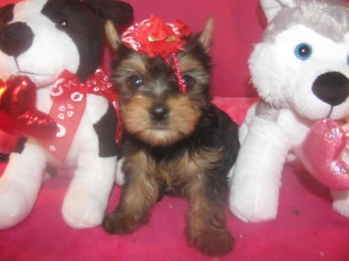 Reduced Price Toy Size Yorkie Male 1.5-lb AKC DOB-12-7-2012