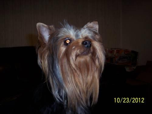 Yorkshire Terrier.AKC, male