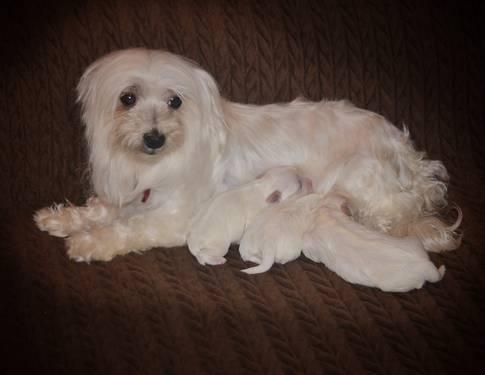 Maltese Puppies (female & male )