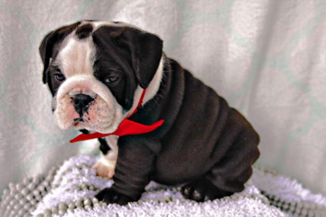 Akc English bulldog puppy male and female available