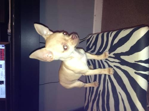 1yr Teacup Chocolate Male Chihuahua