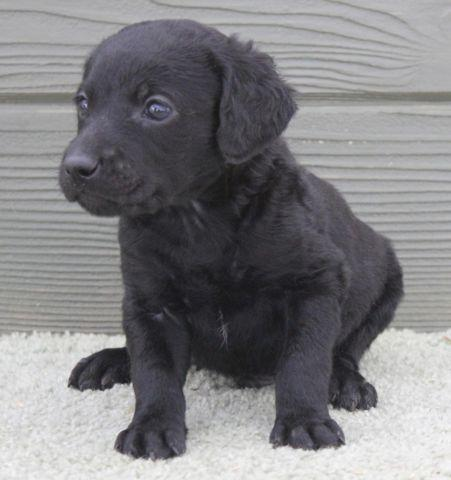Ollie - lovable black male labradoodle puppy