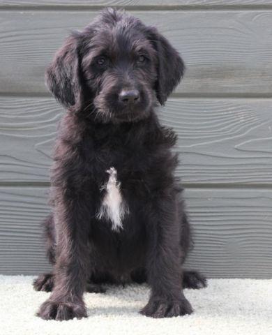 Lance - spiffy black male labradoodle puppy