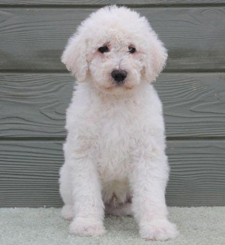 Casper - chalk white male labradoodle puppy