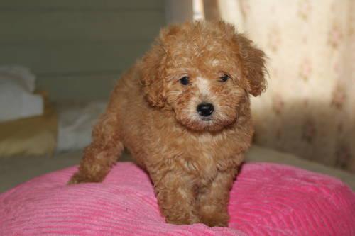 Maltipoo Puppies 4 Sale Apricot Puppy Dog Breeders Iowa | Dog Breeds ...