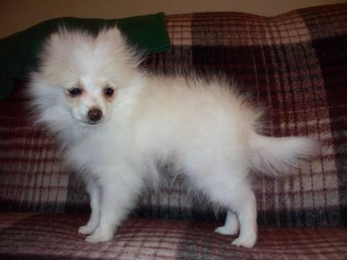 Reduced beautiful Cream Male Pomeranian!