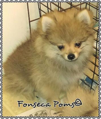 AKC Org sable male Pomeranian!!!!