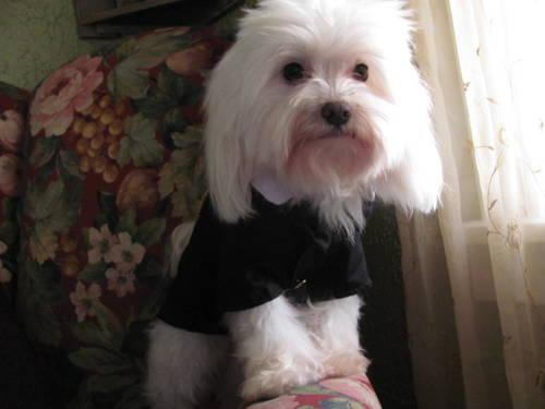 Beautiful Maltese Adult Male~Price Reduced!