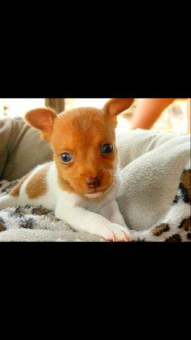 Rat Terrier male puppies
