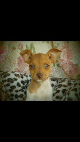 Rat Terrier male puppies