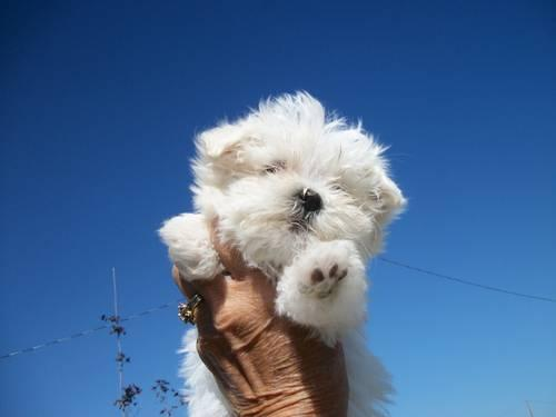 A.K.C. MALTESE TWO MALE PUPPY