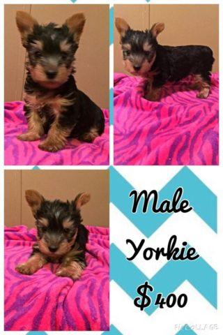 Teacup Yorkie male puppy