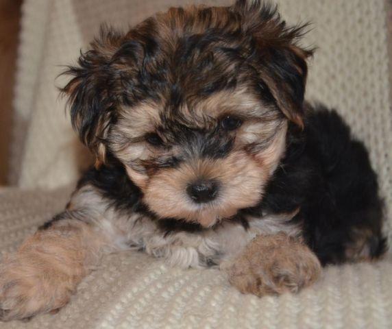 Teacup YORKIE POO Male Puppy