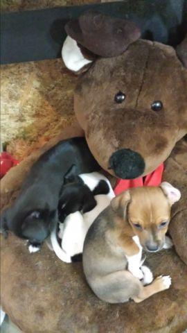 Tri Colored Chihuahua Male puppy