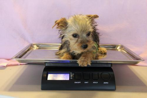 Tiny t-cup male Yorkie
