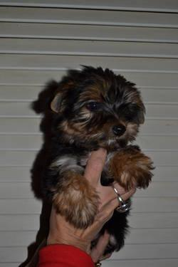 SALE FOR VALENTINES Four cute male yorkies born no. 20