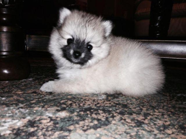 Pomeranian Puppies, 1 Female, 2 Males DOUBLE REGISTERED, Tiny