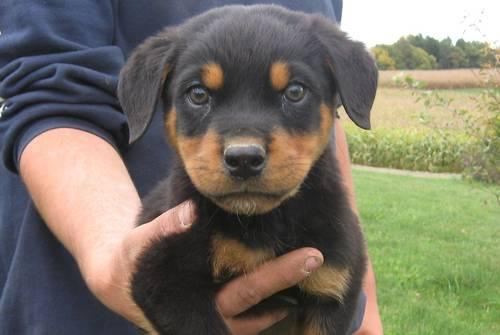 AKC Rottweiler Puppies (males & females) for Sale in Gainesville