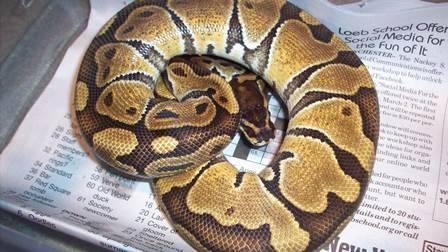 2012 Normal Ball Pythons Males & Females