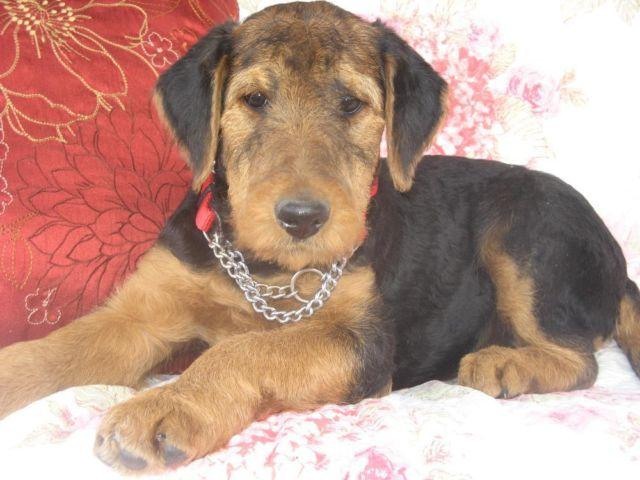 AIREDALE PUPPIES / AKC / MALES & FEMALES * for Sale in Collins