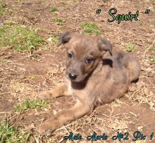Catahoula Shep/ Belgian Malinous Mixed
