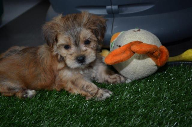Tiny Morkie Puppies ( Yorkie / Maltese) 9 weeks old for Sale