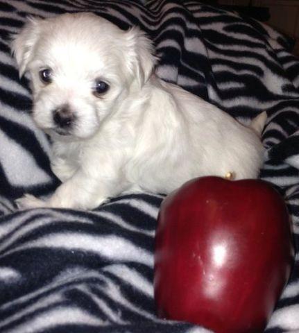 Little White Maltese Puppies