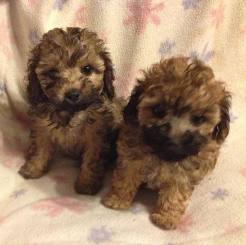 Toy Maltipoo puppy! Female Registered Maltese Toy Poodle