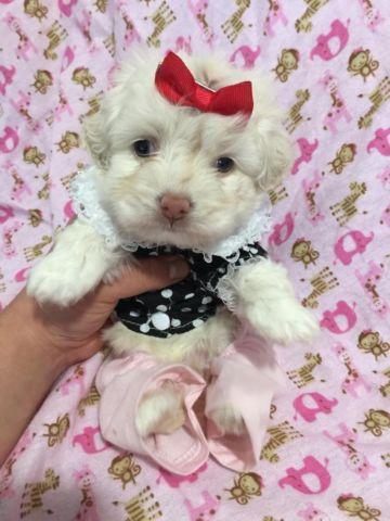 Toy Maltipoos (Designer cross Maltese x Poodle)