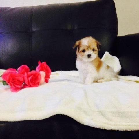 Most Adorable Maltipoo Puppies for Sale in City Of Industry