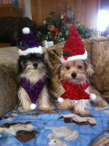 Luv At First Sight Maltipoo Pups Ready Now! for Sale in Fremont