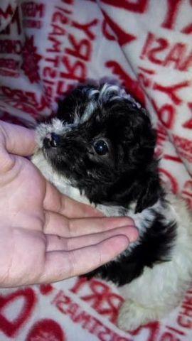Cute Puppies!!! Yorkie-poo's & Maltipoo's!!