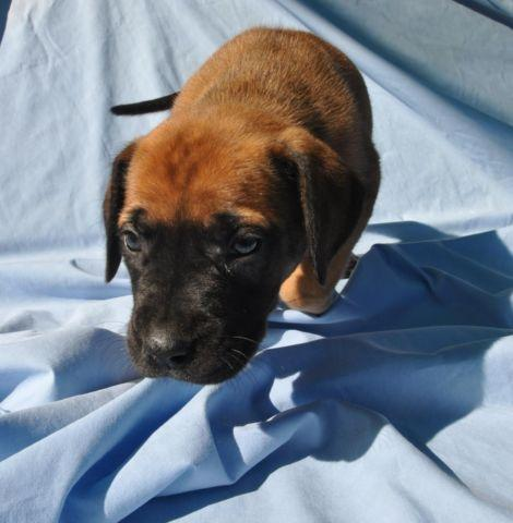 Daniff Aka Mastidane Puppies For Sale In Redding California