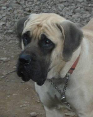 AKC English Mastiff