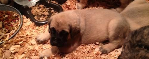 8wk old English Mastiff puppies
